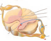 عصب نخاعی
