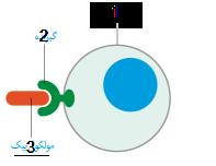 پیک از طریق اثر بر گیرندۀ اختصاصی خود در سلول هدف در آن تغییر ایجاد می کند.